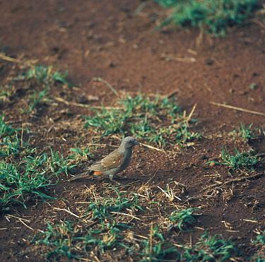 Swahili Sparrow (Passer suahelicus) On ground, Tsavo, Kenya  -  David Hosking/ FLPA