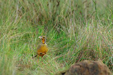 Orange-throated Longclaw (Macronyx capensis) In grass with food in beak, South Africa  -  David Hosking/ FLPA