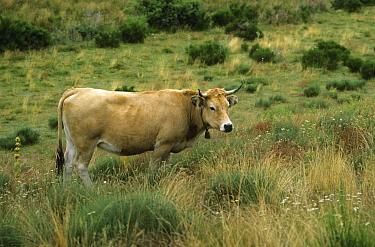 Aubrac Cattle, Light yellow cow with bell, Aveyron region, France  -  Tony Hamblin/ FLPA