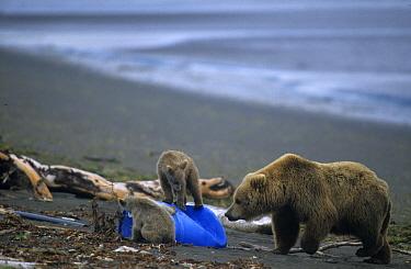 Grizzly Bear (Ursus arctos horribilis) mother and cubs around beach garbage, Hallo Bay, Outer Katmai Coast, AK  -  Mark Newman/ FLPA
