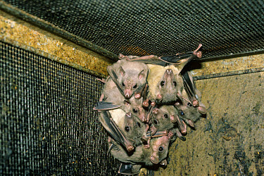 Egyptian Fruit Bat (Rousettus aegyptiacus) group in corner of cage  -  David Hosking/ FLPA