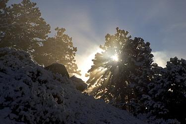 Sunlight filters through trees, Sun rays God rays, light, early morning,sunbeams,daylight, sunshine  -  David Hosking/ FLPA