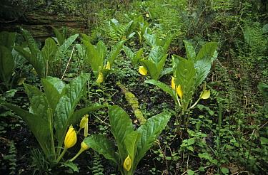 Yellow Skunk Cabbage (Lysichitum americanum) in flower, Federal Way, Washington  -  Keith Rushforth/ FLPA