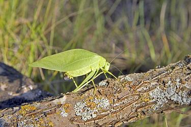 Broad winged katydid microcentrum rhombifolium Crickets, Cicadas, Long horned Grasshoppers  -  David Hosking/ FLPA