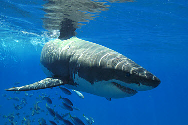 Great White Shark (Carcharodon charcharias) Guadalupe, Mexico  -  Malcolm Schuyl/ FLPA
