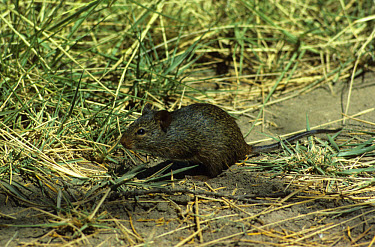 Nile Rat (Arvicanthis niloticus) Sitting on hind legs, Kenya  -  Martin Withers/ FLPA