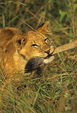 African Lion (Panthera leo) young holding anothers tail in mouth, Masai Mara, Kenya  -  Winfried Wisniewski/ FLPA