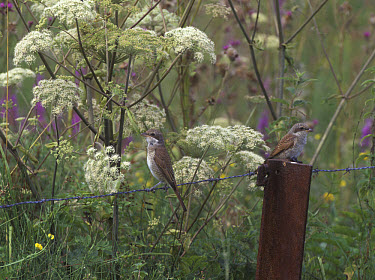Red-backed Shrike (Lanius collurio) adult female with juvenile, perched on barbed wire fence, Germany  -  Rolf Bender/ FLPA