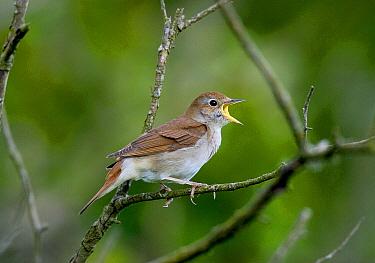 Nightingale (Luscinia megarhynchos) singing, Pulborough Brooks RSPB Reserve, West Sussex, England  -  Roger Wilmshurst/ FLPA