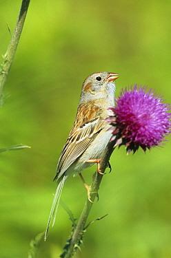 Field Sparrow (Spizella pusilla) On thistle, Ohio  -  S & D & K Maslowski/ FLPA