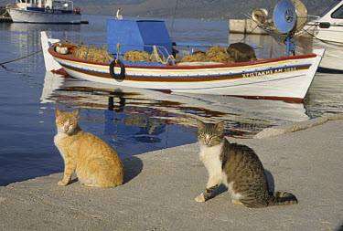 Feral Cat, Two sitting on quayside, Lesbos, Greece  -  Martin Withers/ FLPA