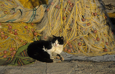 Feral Cat, Lying beside fishing nets, Lesbos, Greece  -  Martin Withers/ FLPA