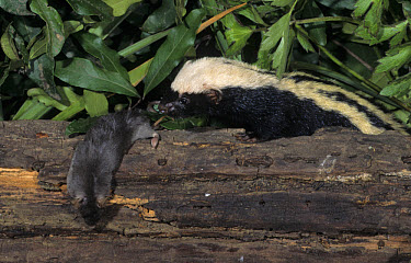 African Striped Weasel (Poecilogale albinucha) adult with prey on fallen wood, Kwazulu, South Africa  -  Wendy Dennis/ FLPA