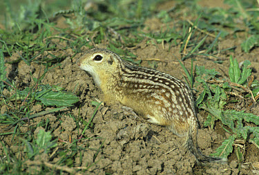 Thirteen lined Ground Squirrel (Spermophilus tridecemlineatus) On ground  -  l Lee Rue/ FLPA