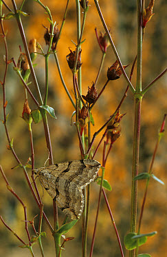 Treble-bar (Aplocera plagiata) adult roosting on Saint Johns Wort, Larval food plant, Powys, Wales  -  Richard Becker/ FLPA