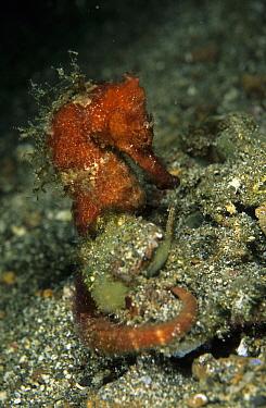 Red Spiny Seahorse (Hippocampus moluccensis), Pantai Parigi, Lembeh Straits, Sulawesi, Indonesia  -  Colin Marshall/ FLPA