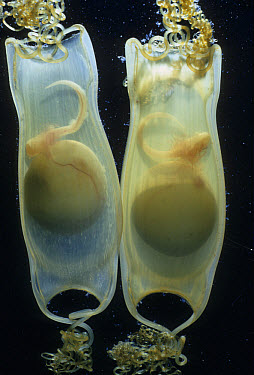 Lesser Spotted Dogfish (Scyliorhinus canicula) Two eggs with early embryos  -  D.P. Wilson/ FLPA