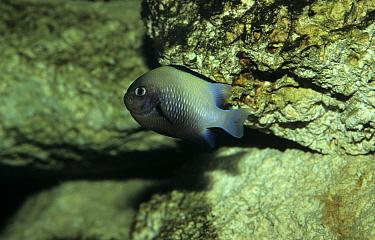 Marginate Damselfish (Dascyllus marginatus)  -  Linda Lewis/ FLPA