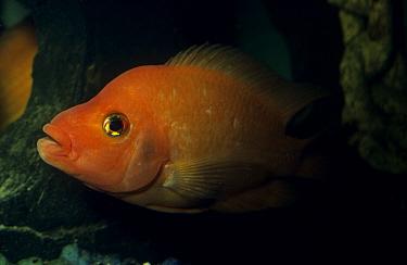 Red Devil Cichlid (Cichlasoma erythraeum)  -  Frank Lane/ FLPA