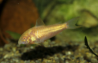 Bronze Catfish (Corydoras aeneus) Albino female  -  Linda Lewis/ FLPA