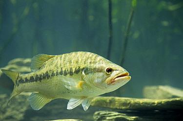 Spotted Bass (Micropterus punctulatus) In rocky stream, Ohio  -  S & D & K Maslowski/ FLPA