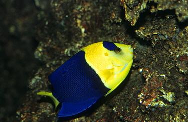 Bicolor Cherub Angelfish (Centropyge bicolor) Pacfic  -  Linda Lewis/ FLPA