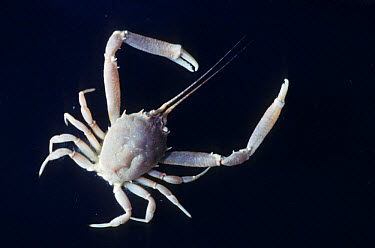 Masked Crab (Corystes cassivelaunus) Male  -  D.P. Wilson/ FLPA