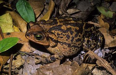 Cuban Toad (Peltophryne peltocephalus) Pinar del Rio, Cuba  -  Chris Mattison/ FLPA