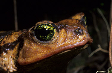 Cuban Toad (Peltophryne peltocephalus) Close-up of head, Pinar del Rio, Cuba  -  Chris Mattison/ FLPA