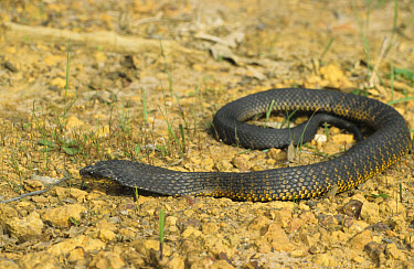 Black Tiger Snake (Notechis ater) on stony ground, Western Australia  -  Martin Withers/ FLPA