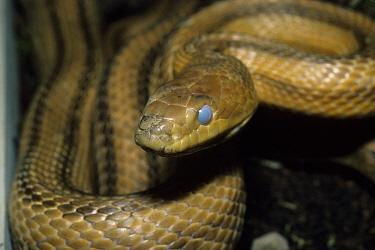 Yellow Rat Snake (Elaphe obseleta quadrivittata) About to shed skin  -  David Hosking/ FLPA