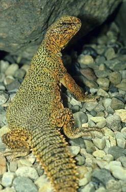 Spiny-tailed Lizard (Uromastryx acanthinirus) Close-up, Captive  -  Frank Lane/ FLPA