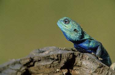 Tree Agama (Acanthocerus atricollis) On log, Massai Mara, Kenya  -  Winfried Wisniewski/ FLPA