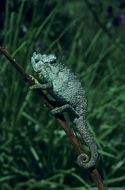 Fisher's Chameleon (Chamaeleo fischeri excubitor) Climbing up stem  -  Tony Wharton/ FLPA