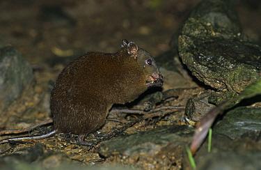 Musky Rat Kangaroo (Hypsiprymnodon moschatus) foraging on forest floor, Queensland, Australia  -  Eric Woods/ FLPA