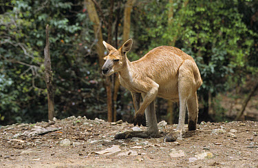 Antilopine Wallaroo (Macropus antilopinus) Adult, Queensland, Australia  -  Eric Woods/ FLPA