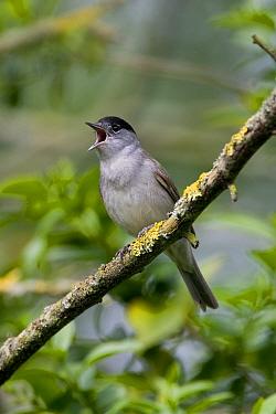 Blackcap (Sylvia atricapilla) male singing  -  Roger Wilmshurst/ FLPA
