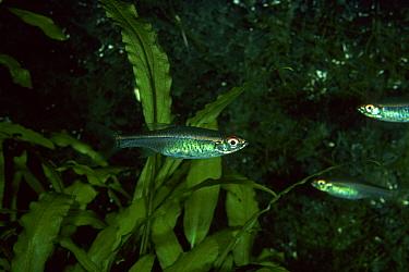 Red-striped Rasbora (Rasbora pauciperforata) Sumatra  -  Frank Lane/ FLPA