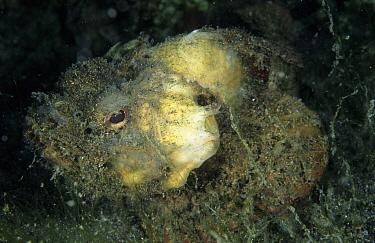 Monkeyfish (Erosa erosa), Jahir Lembeh Straits, Sulawesi, Indonesia  -  Colin Marshall/ FLPA