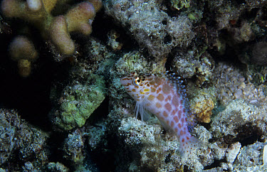 Pixy Hawkfish (Cirrhitichthys oxycephalus), Jayne's Gorgeous Gallery of Garguantan Gorgolians, Papua New Guinea  -  Colin Marshall/ FLPA