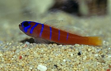 Blue Banded Goby (Lythrypnus dalli)  -  Linda Lewis/ FLPA