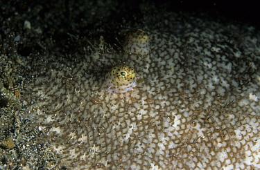 Indonesian Ocellated Flounder (Psammodiscus ocellatus), Pantai Parigi, Lembeh Straits, Sulawesi, Indonesia  -  Colin Marshall/ FLPA