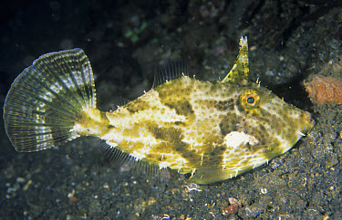 Strap-weed Filefish (Pseudomonacanthus macrurus), Jahir, Lembeh Straits, Sulawesi, Indonesia  -  Colin Marshall/ FLPA