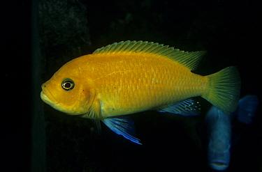 Yellow Cichlid (Cichlasoma citrinellum) South America  -  Frank Lane/ FLPA
