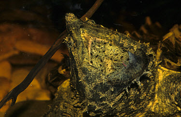 Alligator Snapping Turtle (Macroclemys tammincki) Lures prey with pink 'worm' as it gapes  -  Linda Lewis/ FLPA