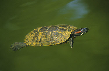 Red-eared Slider (Trachemys scripta elegans) swimming  -  Jurgen and Christine Sohns/ FLPA