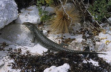 King's Skink (Egernia kingii) Climbing onto rocks, Pelsart Island, Western Australia  -  Martin Withers/ FLPA