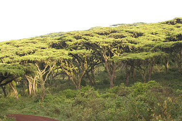 Flat top Acacia Acacia Abyssinica, Ngorongoro crater, Tanzania, Africa  -  David Hosking/ FLPA