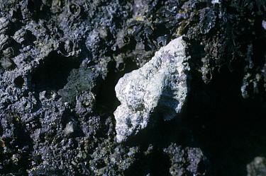 Sting Winkle (Ocenebra erinacea) Attached to rock, Trevone, Cornwall, England  -  D.P. Wilson/ FLPA