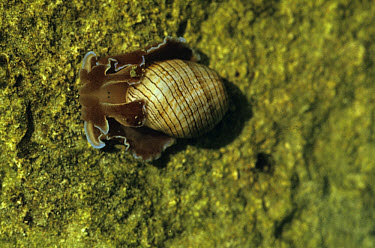 Bubble Shell (Hyeatina physis) About , long, Mauritius  -  W T Miller/ FLPA